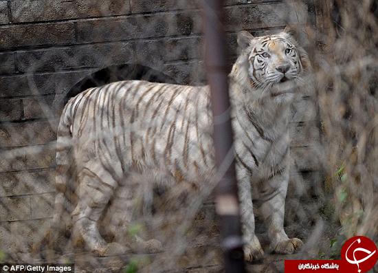 کشته شدن زنی در باغ وحش جلوی خانوادهاش +تصاویر