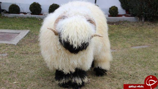 نمایش بانمک ترین گوسفند جهان در انگلیس+ تصاویر