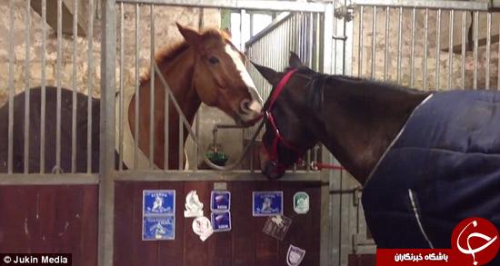 کمک کردن یک اسب به هم نوع خودش +تصاویر