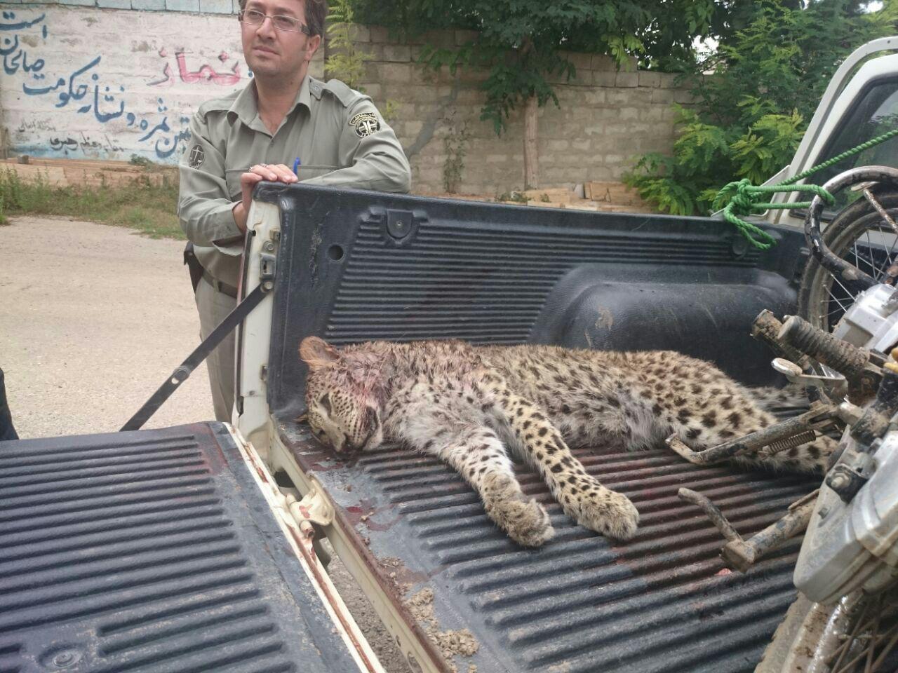 قتل پلنگ ماده دو ساله در چهاردانگه ساری +تصاویر