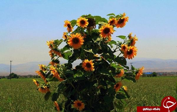 مزارع آفتابگردان خراسان شمالی + تصاویر