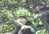 باشگاه خبرنگاران - کشف گیبون های گونه سفید جنوبی در جنگل های ویتنام + فیلم