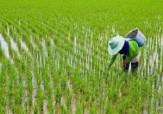 باشگاه خبرنگاران - افزایش 10 درصدی تولید برنج در سال جاری/ خودکفایی با حمایت امکان پذیر است