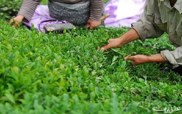 خبر خوش برای چایکاران در راه است/ تولید چای رکورد زد