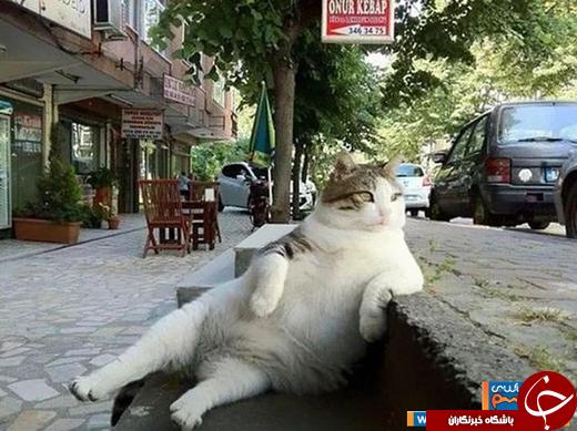 عکس/ گربه مشهور استانبول جاذبه توریستی این شهر شد!