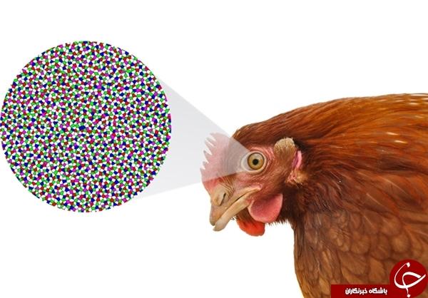 کشف راز ساختار سلولی چشمان پیچیده مرغ