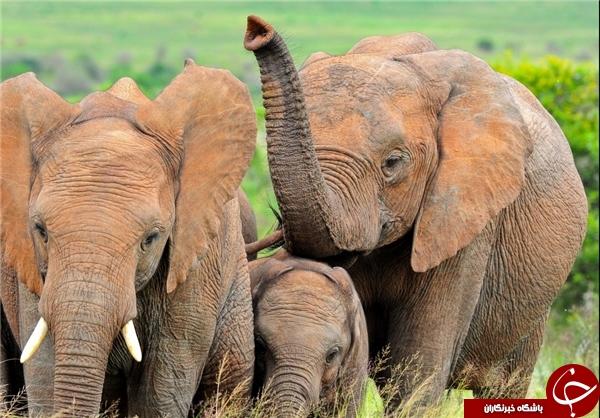 بینی فیل 5 برابر بهتر از انسان بوها را حس میکند