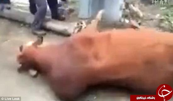 آزار دادن گاو در چین +تصاویر