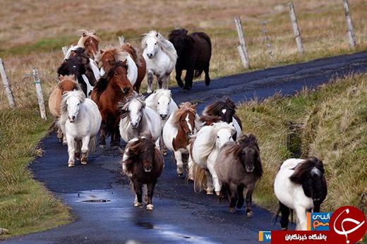 عکس/ جزیره اسب های مینیاتوری