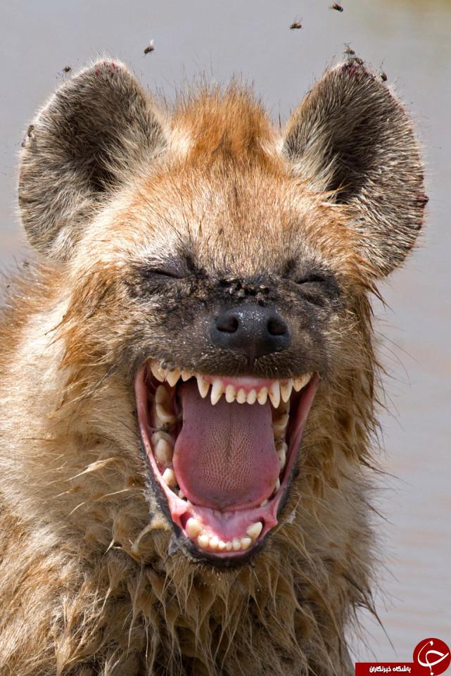 خنده دارترین عکس های حیات وحش در سال 2016 انتخاب شدند