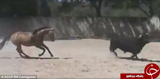 اسب ماتادور گاو را شکست داد +تصاویر