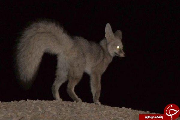 شاه روباه در جنوب ایران شناسایی شد