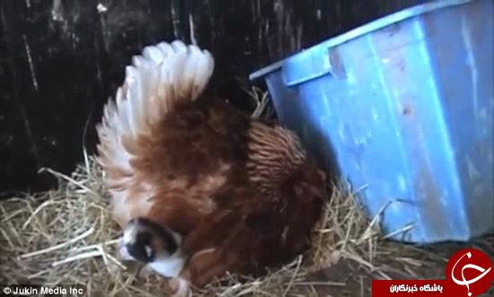 این مرغ دو بچه گربه را به فرزندی قبول کرد +تصاویر