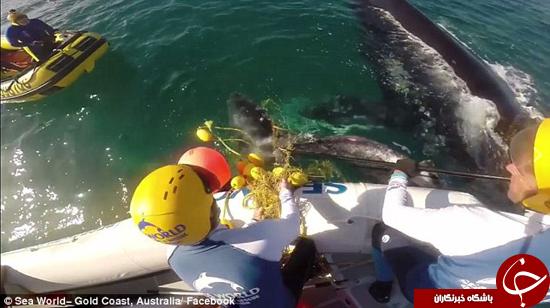 صحنه دلخراش گیر افتادن نهنگ در تور ماهیگیرها +تصاویر