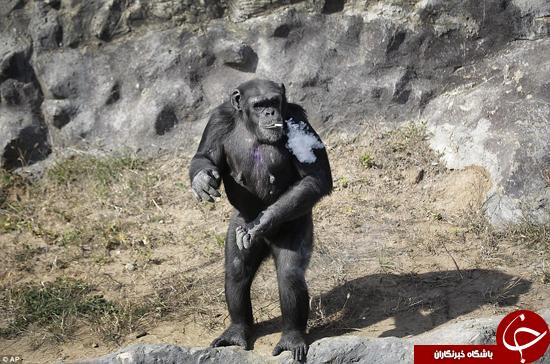 میمون دودکش +تصاویر