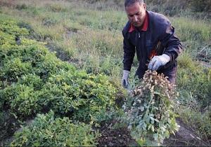 آغاز برداشت محصول بادام زمینی در اصلاندوز