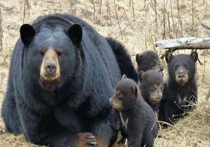 کیسه صفرای خرس سیاه خاصیت درمانی ندارد