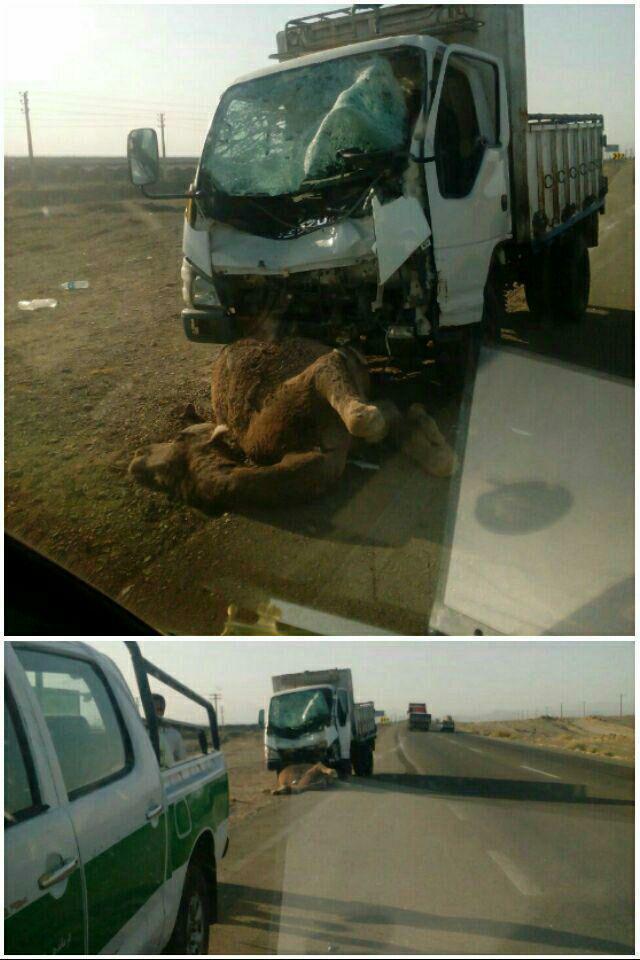 برخورد شتر با کامیون حادثه آفرید