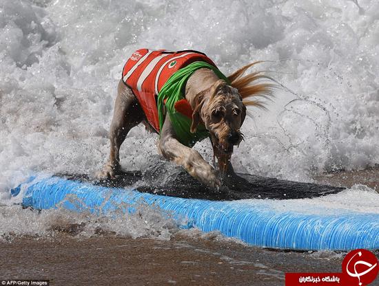 رقابتهای موجسواری سگها +تصاویر