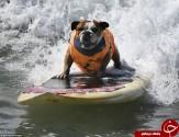 باشگاه خبرنگاران -رقابت عجیب موج سواری سگها+تصاویر