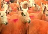 باشگاه خبرنگاران - رنگ آمیزی گوسفندان گله برای جلوگیری از سرقت + فیلم