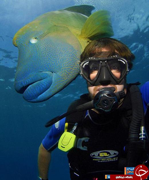 عکس/ غول پیکرترین ماهی صخرههای مرجانی