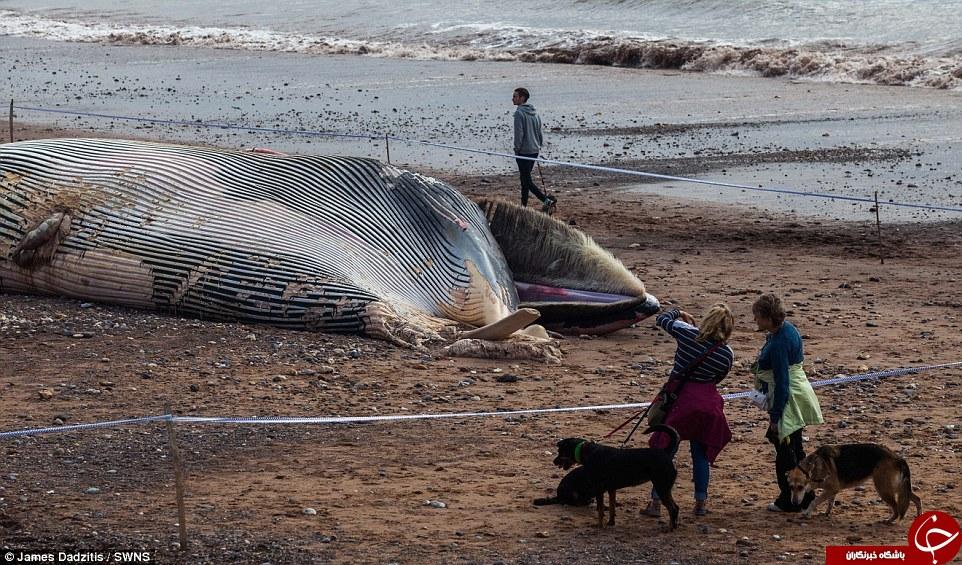 احتمال انفجار لاشه نهنگ همه را گریزان کرد + تصاویر