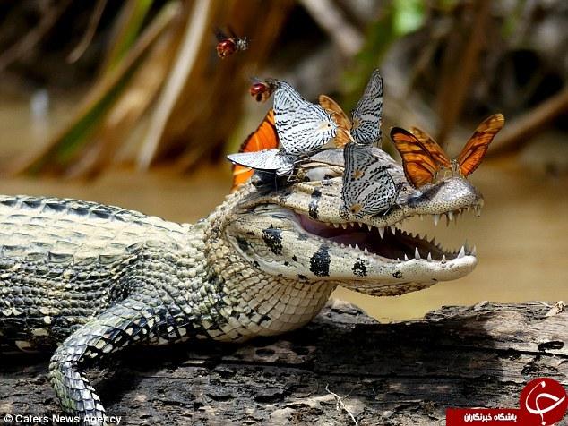سلفی تمساح