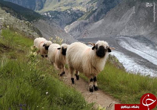 عکس/ عجیبترین نژاد گوسفندان