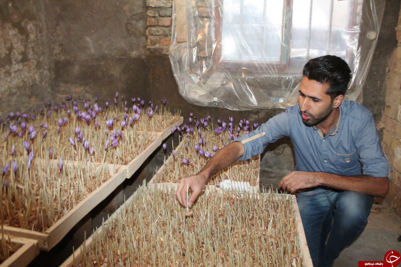 کاشت گلخانه ای محصول زعفران بدون خاک در بردسکن+تصاویر