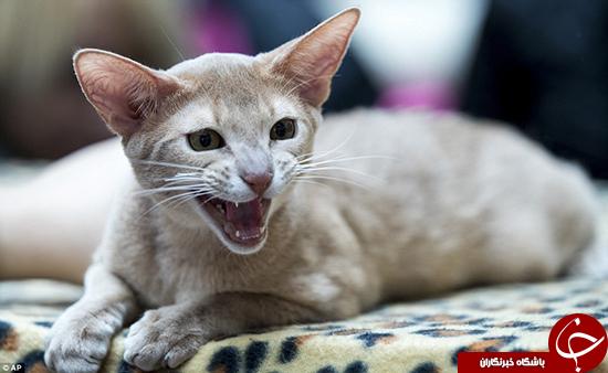 جشنوارهای برای عاشقان گربه +تصاویر