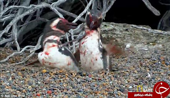 خیانت همسر به همسر در پنگوئنها +تصاویر