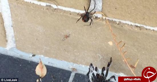 درگیری دو عنکبوت خطرناک جهان با یکدیگر +تصاویر