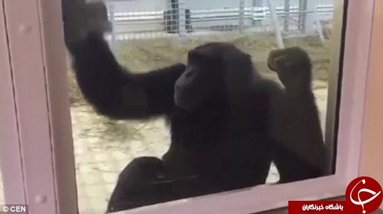 این میمون خیلی به محوطهاش میرسد +تصاویر