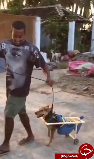 این سگ با چرخ راه میرود +تصاویر
