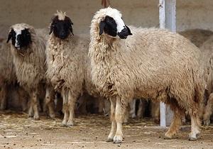 نهادههای دامی عشایر اردبیل با قیمت مناسبتر تامین می شود