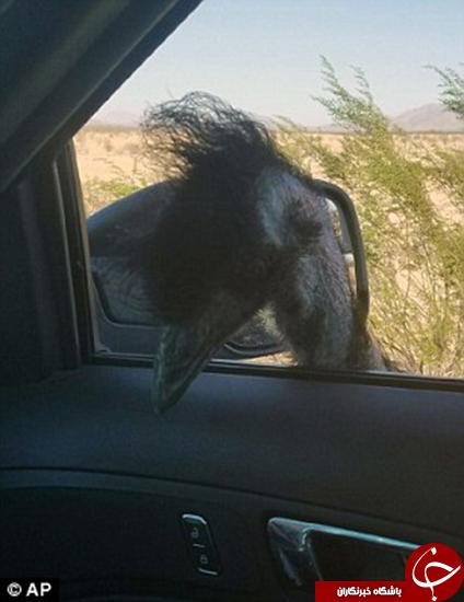 شترمرغ از قفس پرید +تصاویر