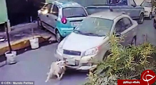 این سگ با خودرو زیر گرفته شد +تصاویر