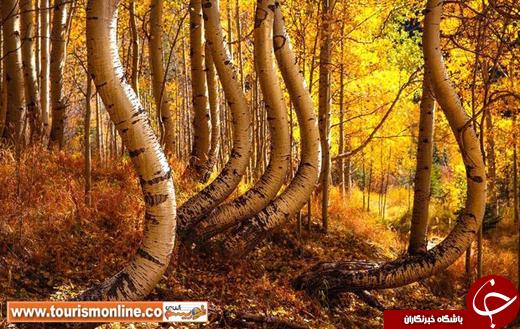 عکس/ عجیب ترین درختان جنگل آمریکا را ببینید