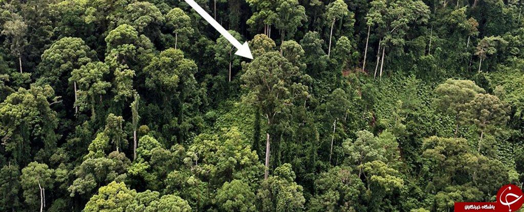 کشف بلندترین درخت استوایی جهان با ارتفاعی حدود 100 متر+ عکس