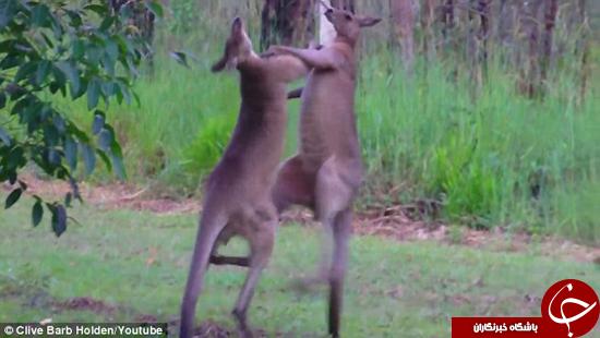 مسابقه بوکس کانگوروها تصاویر