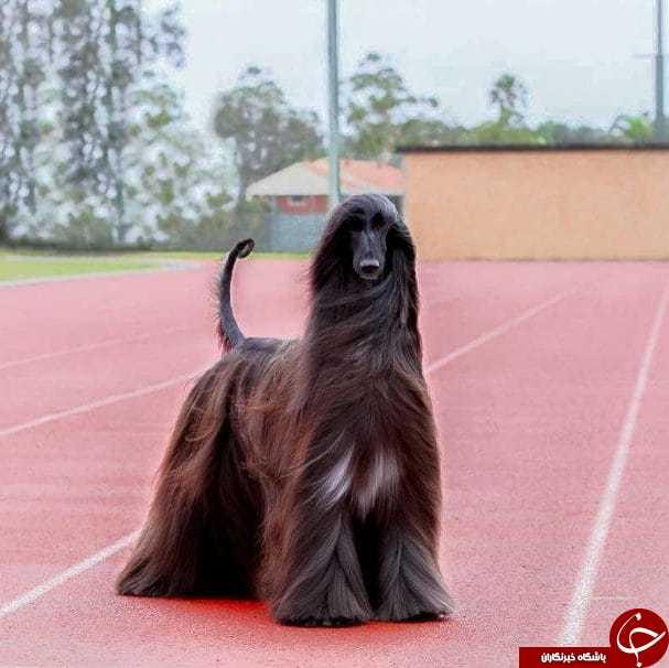 زیباترین سگ جهان ستاره شبکههای مجازی شد+تصاویر