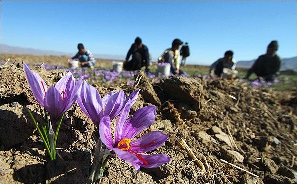 مرگ تدریجی زعفران ایرانی در سایه قاچاق