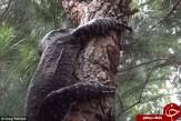 باشگاه خبرنگاران -جنگ زیبای یک پرنده با خزنده غول پیکر +تصاویر
