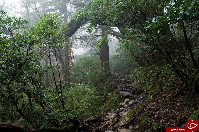 قدیمی ترین و پیرترین جنگلهای جهان+تصاویر