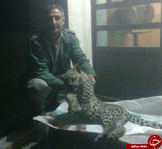 مرگ یک قلاده پلنگ نر در چهاردانگه + تصاویر