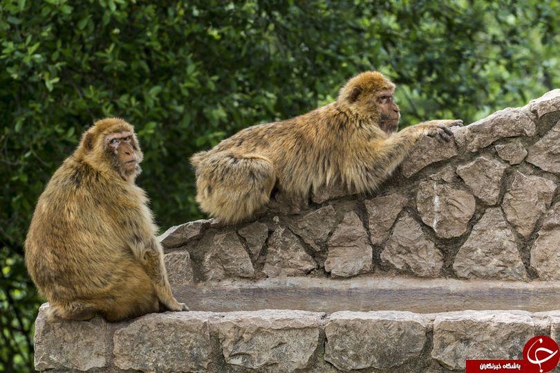 میمون ناقلا باعث کشته و زخمی 66 تن شد+عکس
