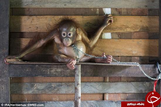 بچه اورانگوتان عروسک تزیینی شده بود +تصاویر
