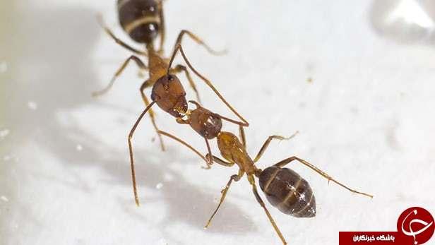 احساسات به سبک مورچه ها/ حقایق شگفت انگیز از دنیای مورچه ها