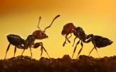 باشگاه خبرنگاران -احساسات به سبک مورچه ها/ حقایق شگفت انگیز از دنیای مورچه ها